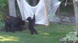 ASSISTA: Vídeo mostra filhotes de urso brincando em