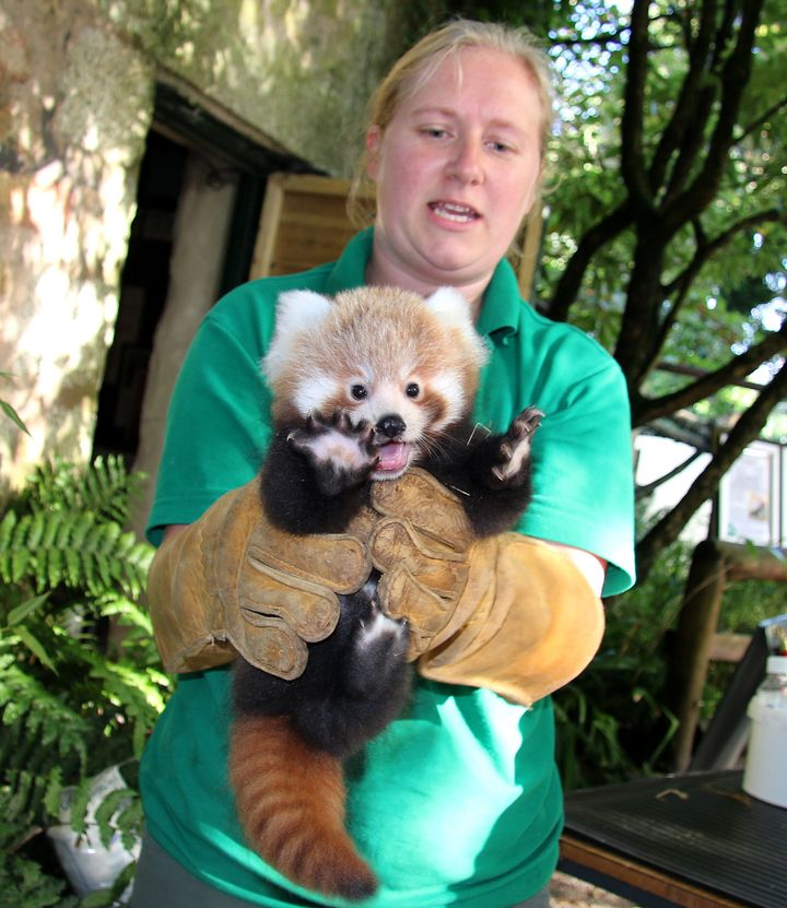 Rusty, a red panda cub receives a check-up at Paradise Park in Cornwall, UK.