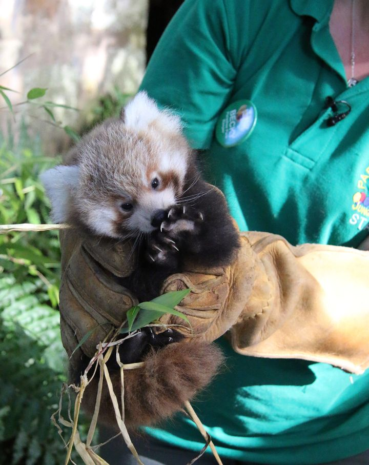 Scarlet, another red panda cub born at Paradise Park, receives her check-up.