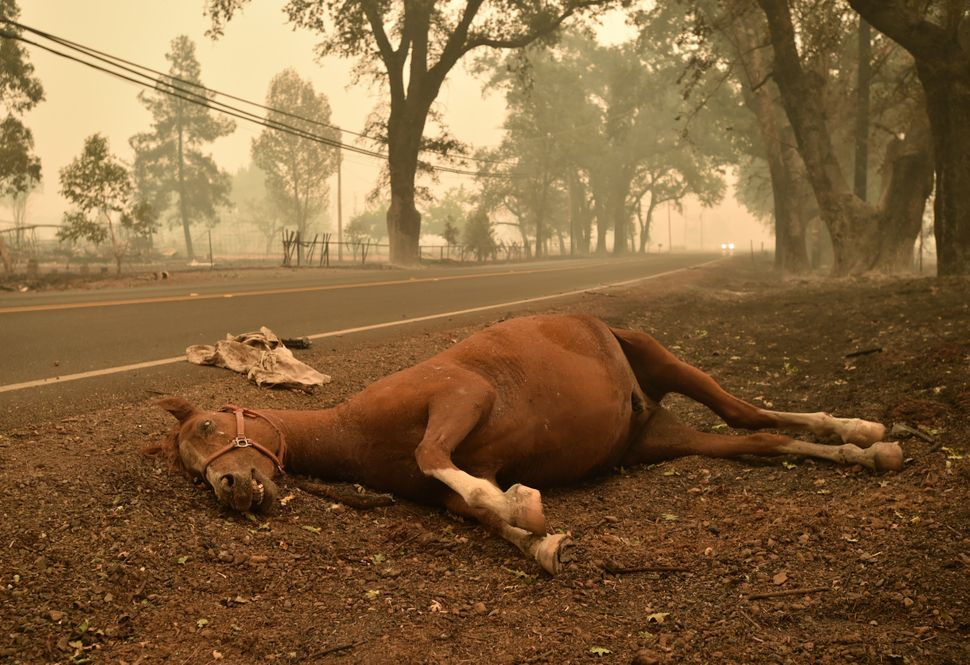 A dead horse lays on the side of a road in Middletown, California, Sept. 13, 2015.