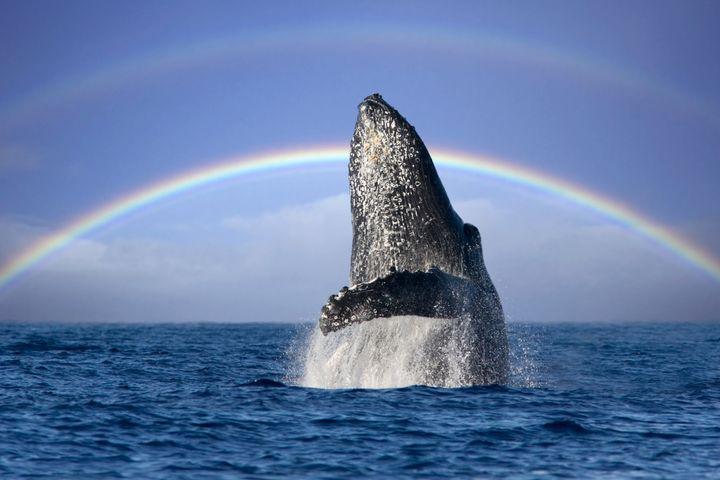 Best Whale Watching Hawaiian Islands
