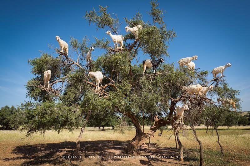 The Luxurious Poop From These Tree-Climbing Goats Produces Argan