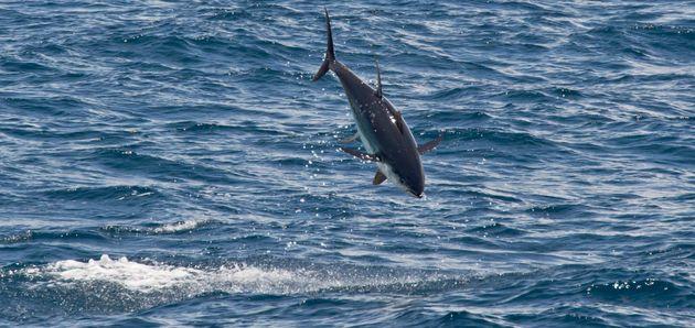 Jumping yellowfin tuna (Thunnus albacares), Maldives, Indian Ocean,