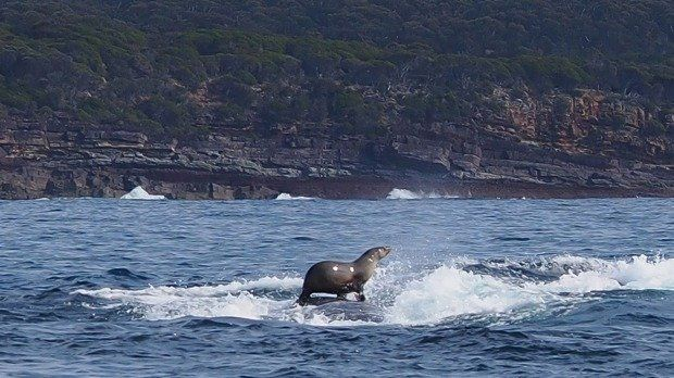 A seal takes a ride on a humpback whale.