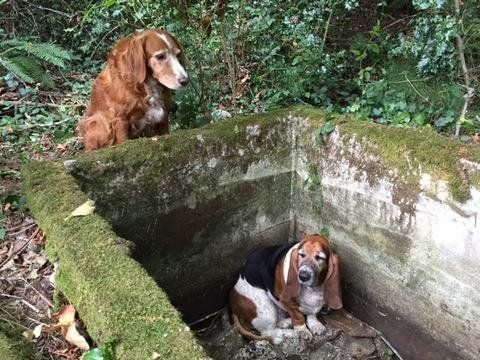"Tillie, a setter mix, guarded her ""best friend"" Phoebe the basset hound for days before rescuers found the lost dogs."