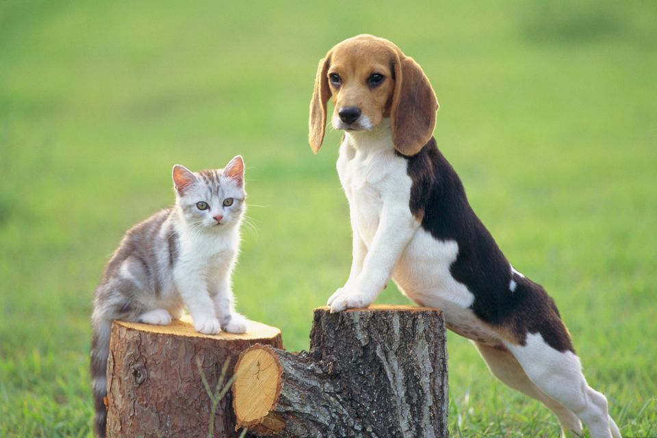 Beagle; is a medium sized dog breed and a member of the hound group, similar in appearance to a Foxhound but smaller with sho