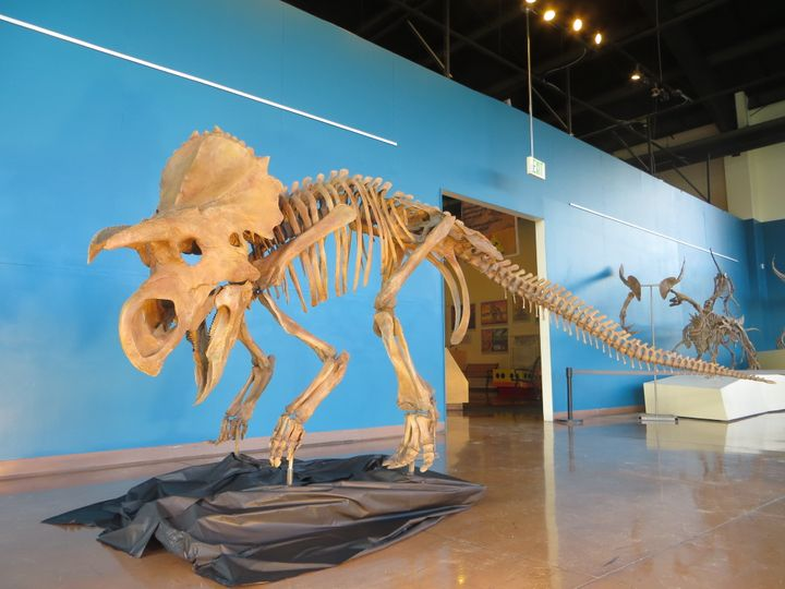 The dinosaur skeleton stands about 4 feet tall and 11 feet long.