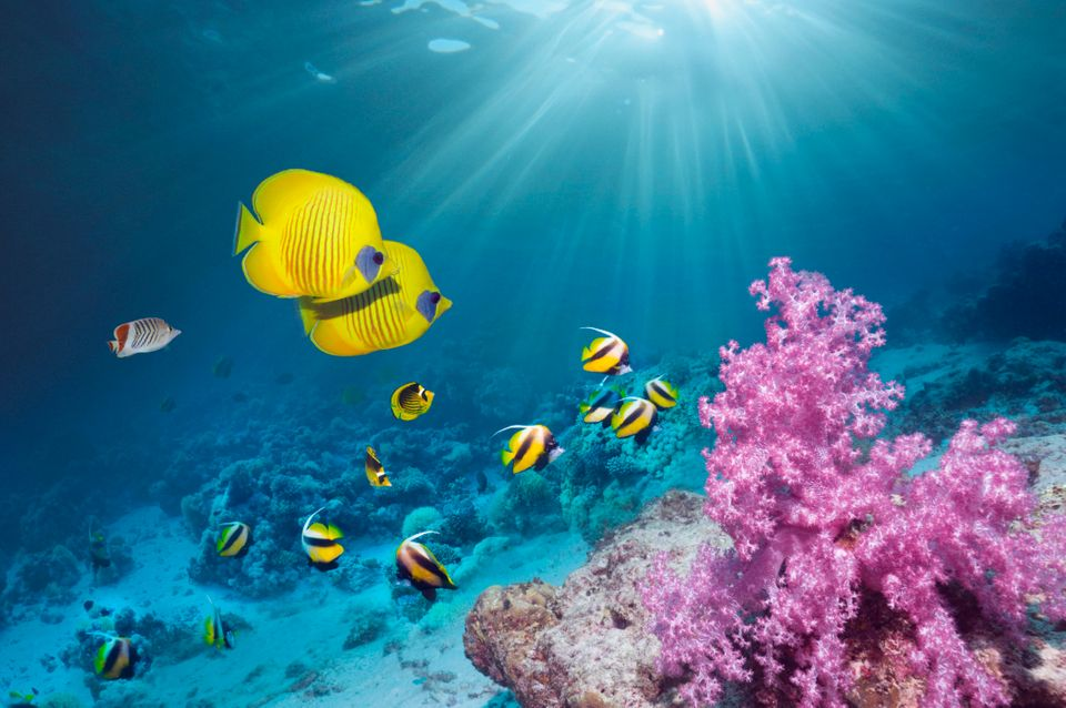 Coral reef scenery with Golden butterflyfish (Chaetodon semilarvatus) and Red Sea bannerfish (Heniochus intermedius).  Egypt,