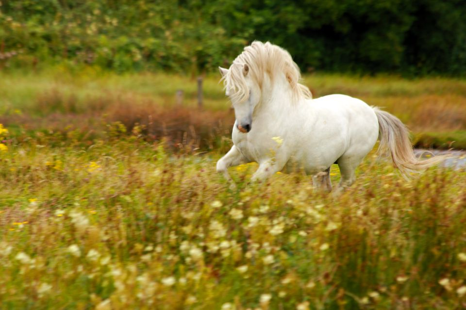 White pony with flowing mane galloping freely on Llanddwyn Island, Anglesey, North Wales