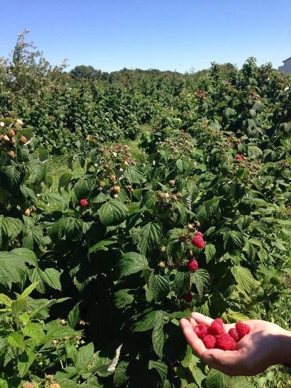 "<a href=""https://www.applejackorchards.com/fruit-goodies/raspberries.php"">Raspberries</a> are ripe for the picking here,"