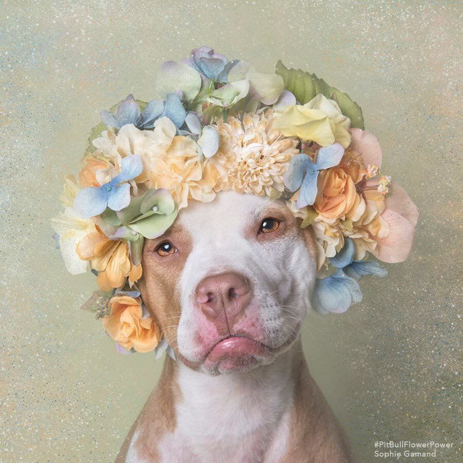 Pit Bulls In Flower Crowns Result In A Seriously Heart Tugging Photo