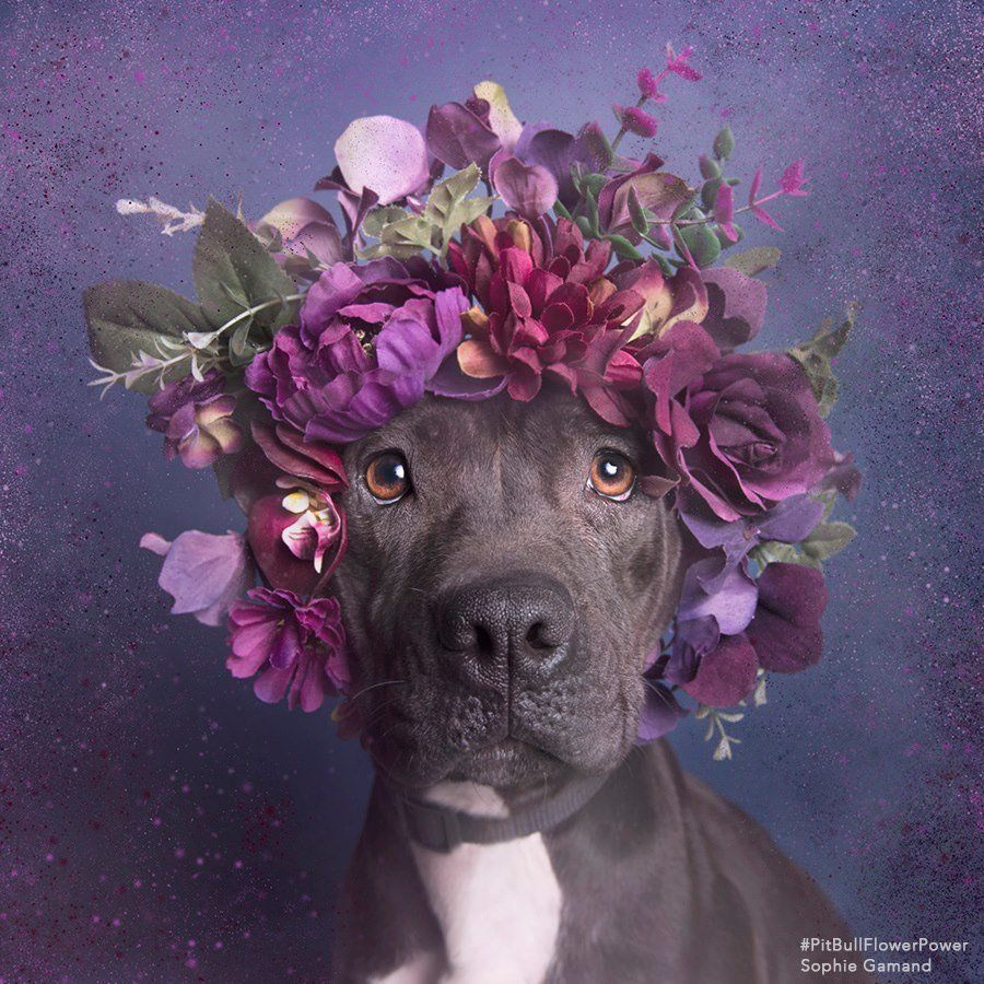 Pit Bulls In Flower Crowns Result In A Seriously Heart-Tugging Photo
