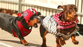 Cooper, dressed as a racing car driver chases a competitor as he competes in the Hophaus Southgate Inaugural Dachshund Running of the Wieners Race on September 19, 2015 in Melbourne, Australia.