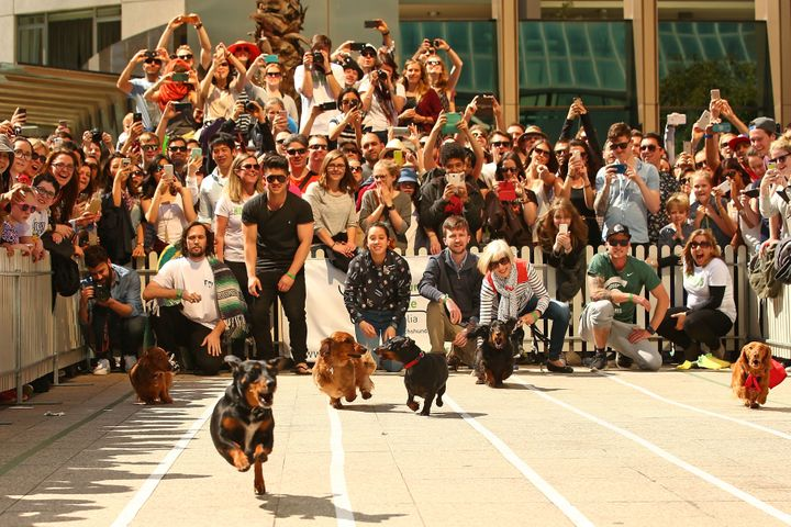 A large crowd watches as dachshunds compete.