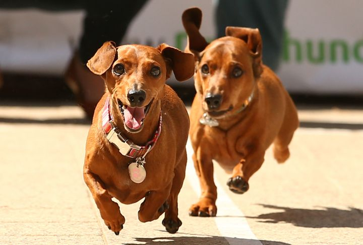 Mini dachshunds run as they compete in the Hophaus Southgate Inaugural Dachshund Running of the Wieners Race.