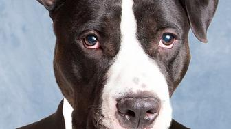 """Ian is a silly guy who loves going for walks. Here's his <a href=""""http://www.petango.com/Adopt/Dog-Terrier-American-Staffordshire-28663009"""">adoption listing</a>."""