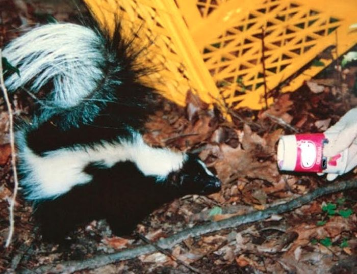 A skunk moments after being freed from a Yoplait yogurt cup.