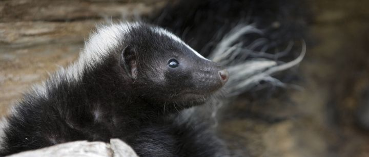 Skunks are the animals primarily affected by the design of Yoplait yogurt cups.