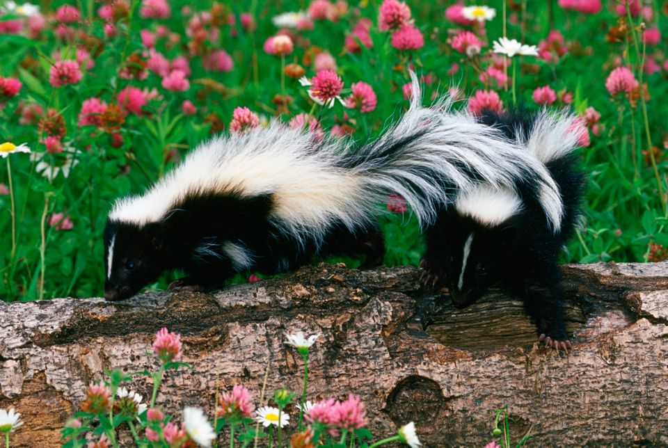 Skunks, Sandstone, Minnesota