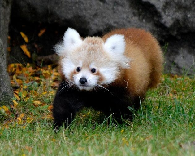 Meet Tofu The Baby Red Panda Who Is The Cutest Little Nugget On Earth Huffpost