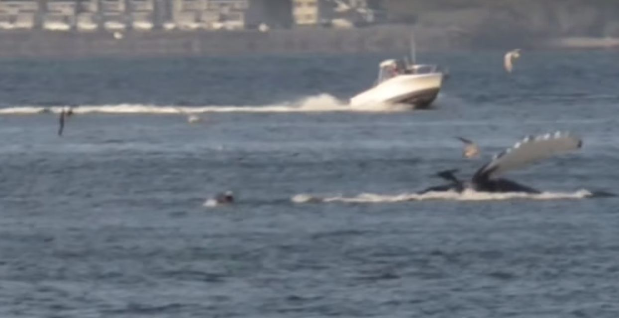 This screenshot from YouTube shows a humpback whale in the Columbia River earlier this week.