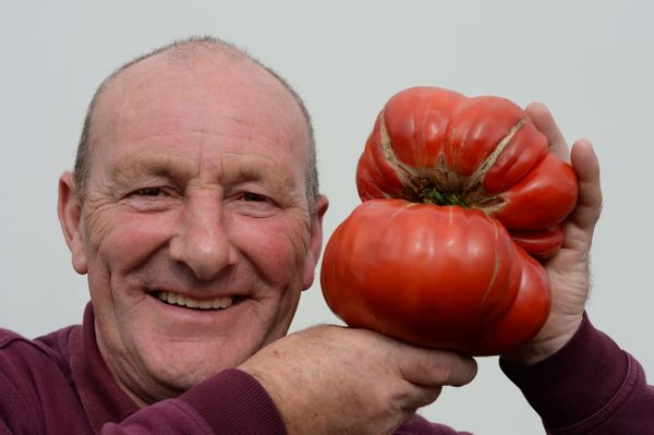 Joe Atherton of Mansfield with his first placed Gigantomo variety tomato weighing 1.7 kilo (3.75 lbs).