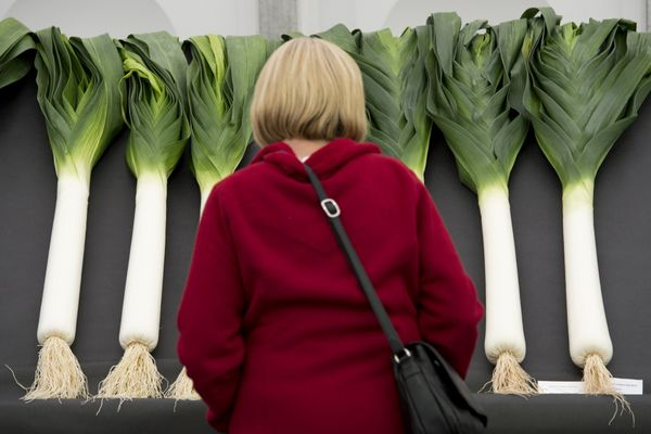 A woman looks at entries in 'the National Leek Championships' at the Harrogate Autumn Flower Show, in northern England, on Se