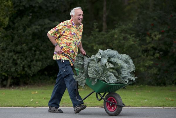 Ian Neale pushes a wheelbarrow with his winning 24.2kg (53.5 lbs) entry in the Heaviest Cabbage Competition at the Harrogate