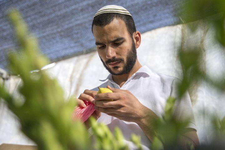 A Jewish man inspects a citron (or 'Etrog' in Hebrew), one of four plant species to be used during the celebration of Sukkot,
