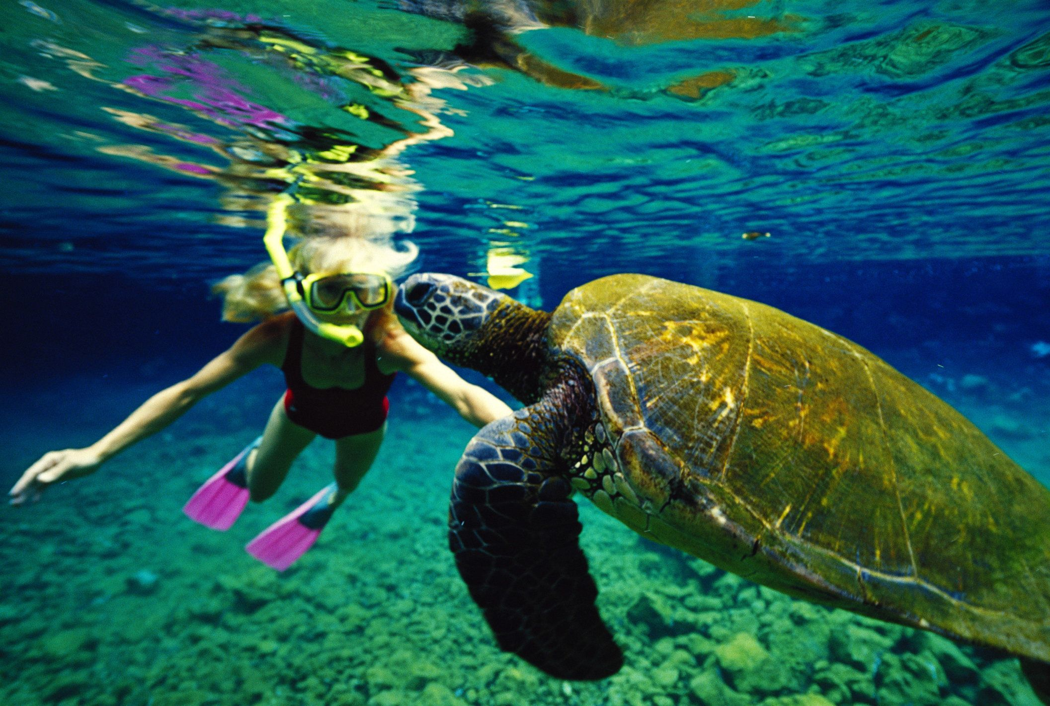 Hawaii closeup of green sea turtle (Chelonia mydas) with girl petting and snorkeling
