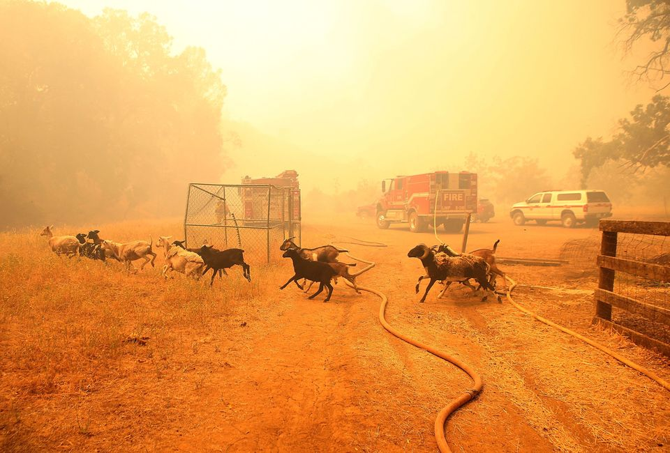 LOWER LAKE, CA - JULY 31:  Goats run away from their pen after firefighters freed them as the Rocky Fire approaches on July 3