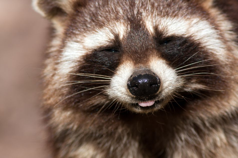 Stealthy raccoons form furry chain to help baby over wall the