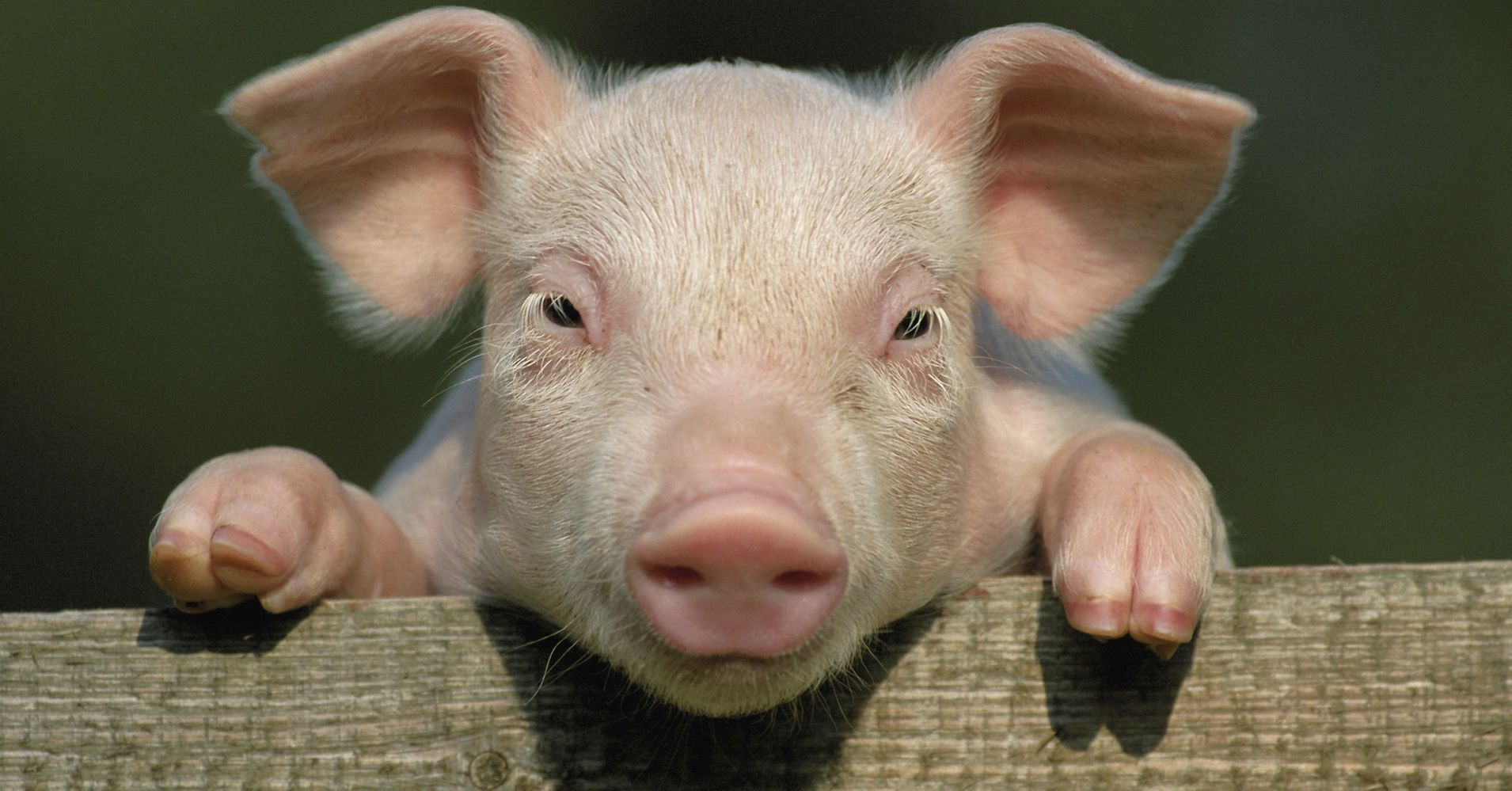 China Is Genetically Engineering Mini Pigs To Sell As Pets Huffpost