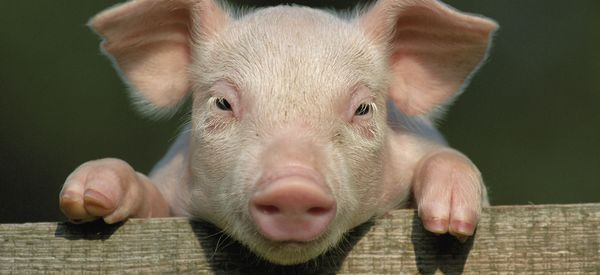 China Is Genetically Engineering Mini Pigs To Sell As Pets