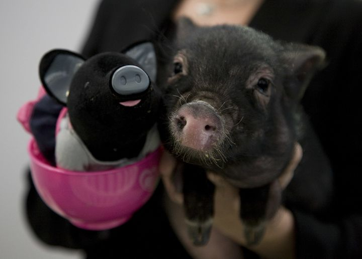 BGI's genetically engineered pigs are not to be confused with teacup pigs (pictured above, on the right), which, according to