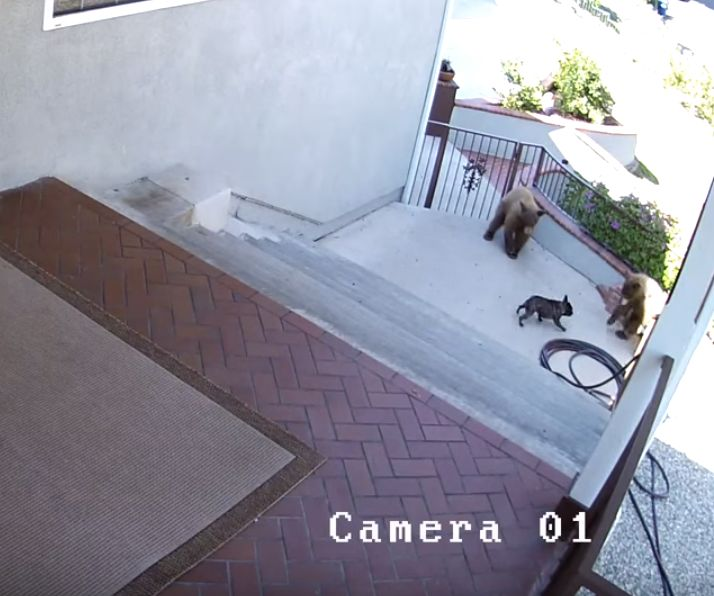 Tiny French Bulldog Takes On Two Bears Like A Boss