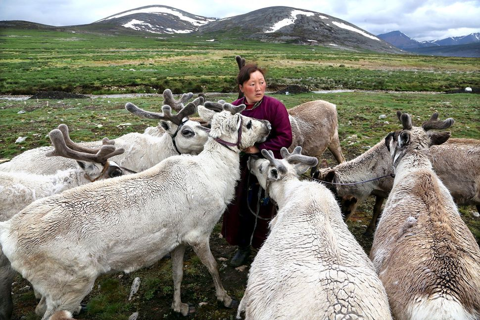 The sense of community among the Tsaatan people is structured around reindeer. The reindeer and the Tsaatan people are depend