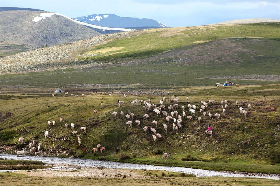 Tsaatan people raise their reindeer primarily for milk. Reindeer milk, reindeer yoghurt and reindeer cheese are the staples o