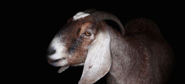 Goat Sacrifice, Talk Of Civil War Shake Up Senate Race