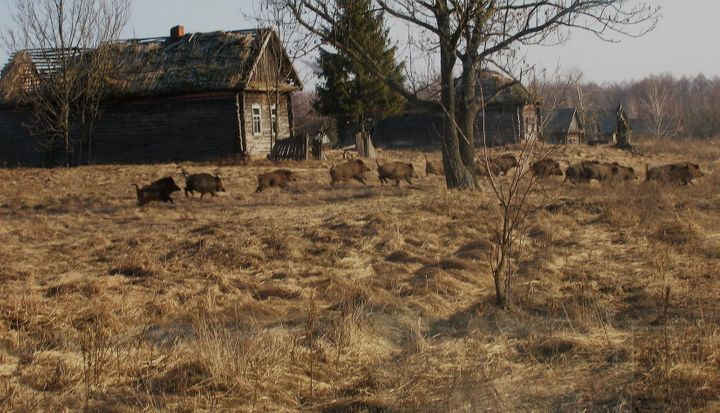 Wild boar run in front of an abandoned building inside Chernobyl's exclusion zone.