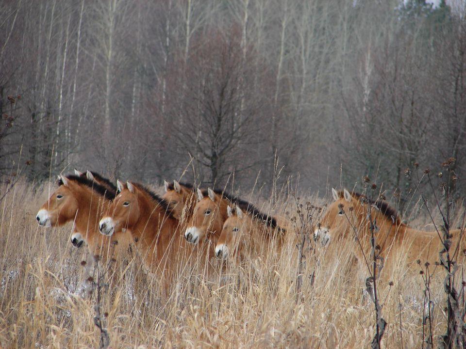 Przhevalski horses inside the Chernobyl area.