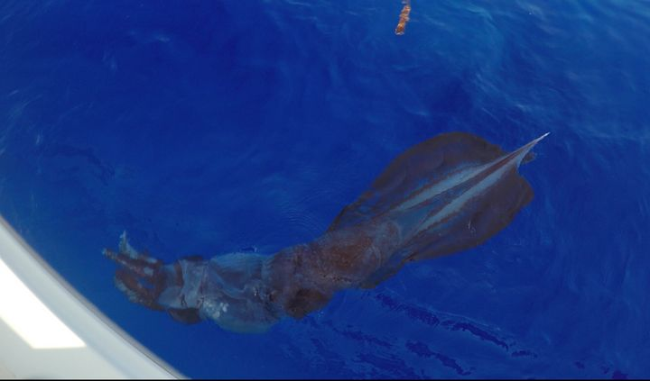 The squid measured approximately 7 feet in length and weighed about 52 pounds.