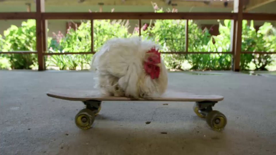 This is the story ofPoodle Roo,the remarkable rooster who nearly died from a vicious attack but rose again to fin