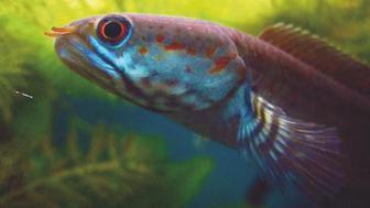 Dwarf snakehead fish