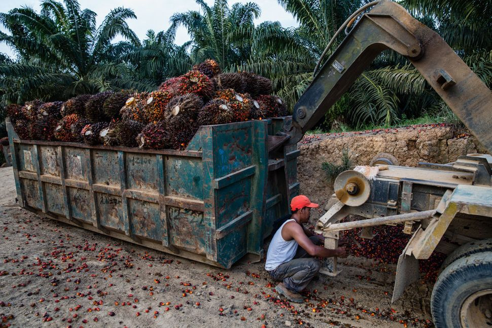 Transporting the spiky fruit clusters harvested from the palm oil tree requires heavy-duty machinery. Indonesia, home to the
