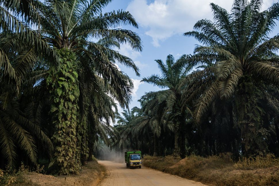 Dump trucks transporting clusters of oil-palm fruits ply the dirt roads inside the Asiatic Persada concession on Sumatra arou