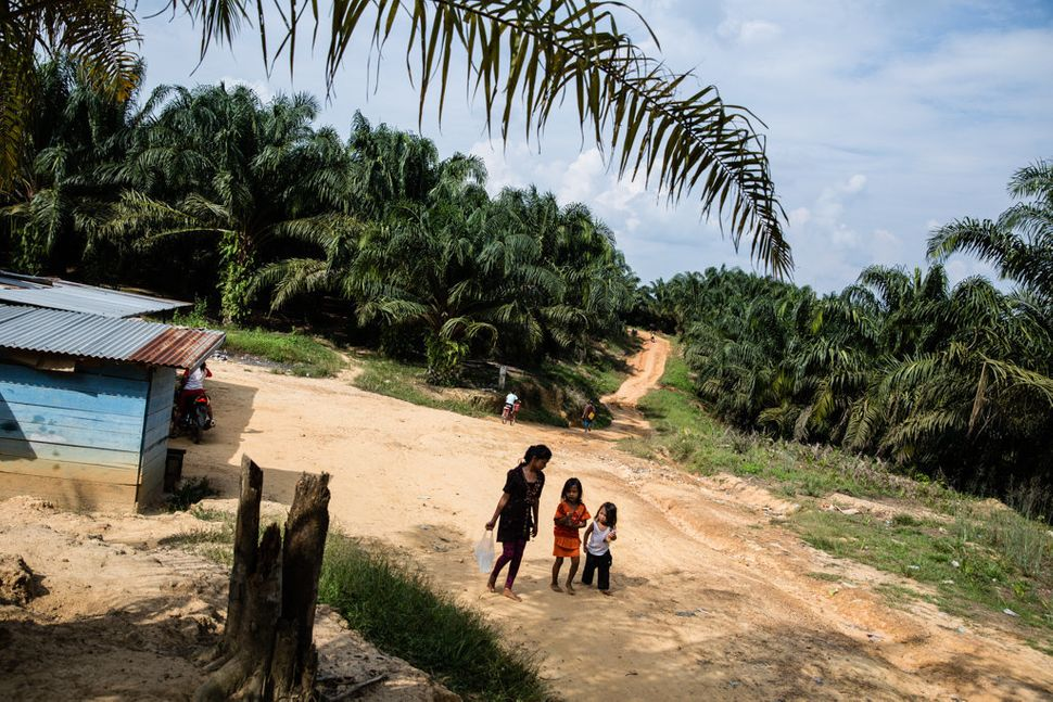 The landscape that Revan and many other Batin Sembilan kids now call home amounts to an endless sea of oil palm.