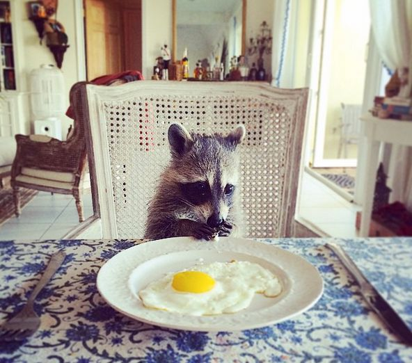 Pumpkin is a domesticated raccoon who enjoys the finer things in life.
