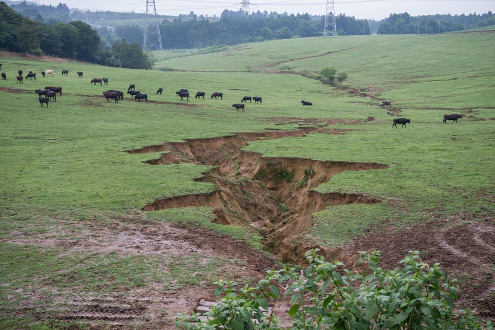 There are currently approximately 360 cattle owned by Masami Yoshizawa who returned to his farm after the disaster. The crack