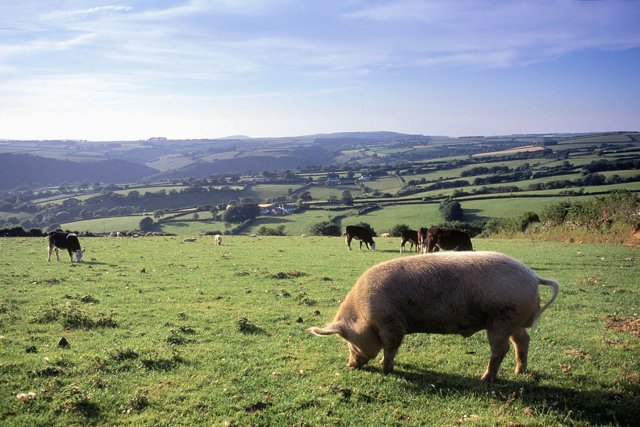 Pig eating grass
